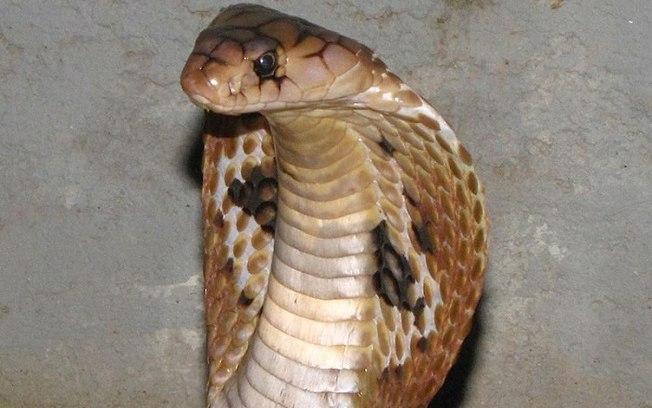 Cobra naja.jpg